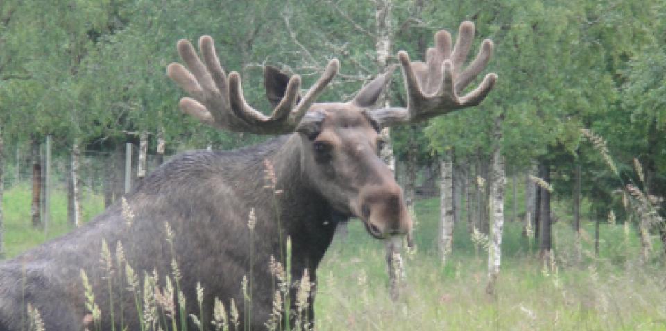 The Moose thrives in Gutvik