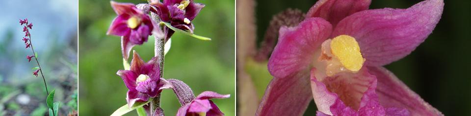 Rødflangre (Epipactis atrorubens)